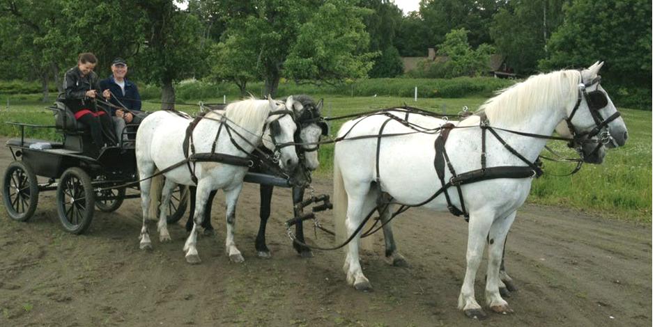 Lär dig köra vagn med våra Connemarahästar